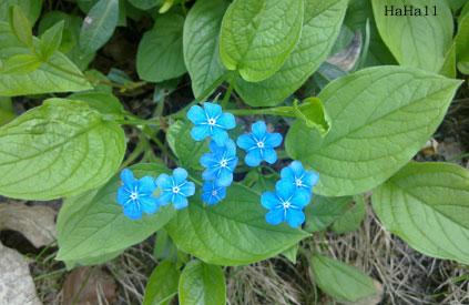 Kevätkaihonkukka – Omphalodes verna